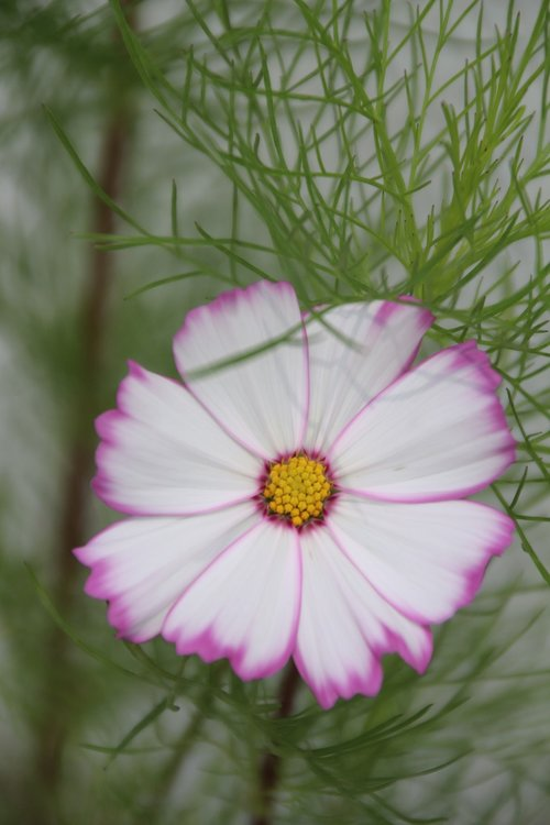cosmos  flower  cosmos pink
