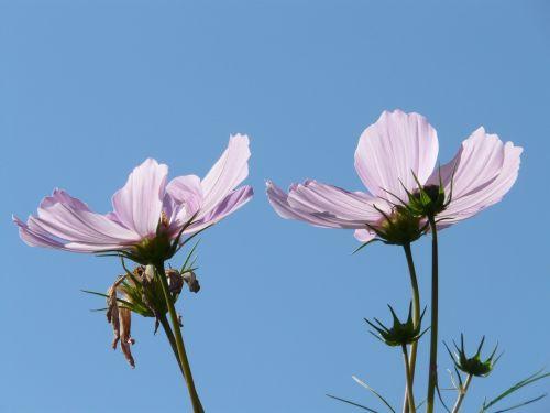 cosmos cosmos bipinnatus flowers