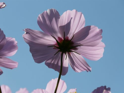 cosmos blossom bloom