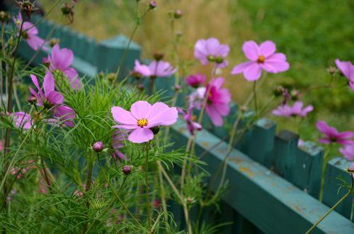 cosmos cosmos bipinnatus garden