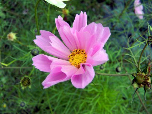 cosmos flower garden flowers