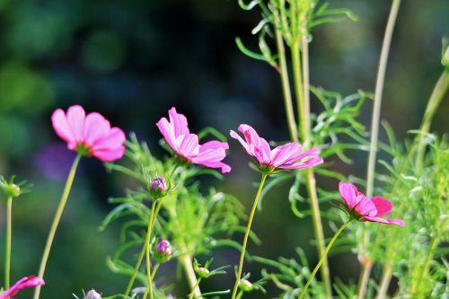 cosmos bipinnatus flower blossom