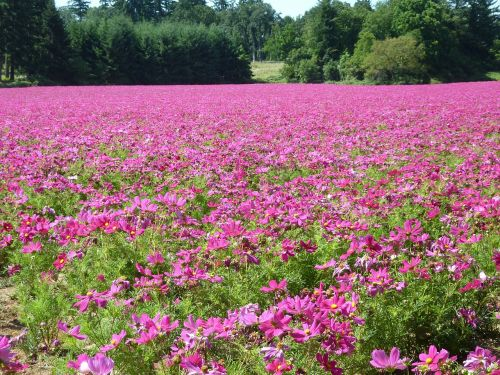 cosmos field flowers pink