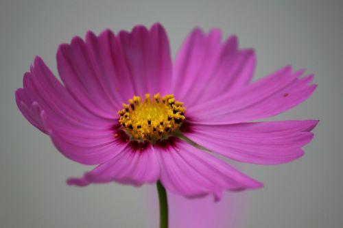 cosmos flower cosmos flower