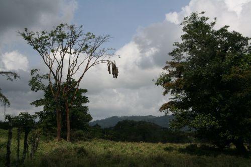 costa & nbsp, rica, paukštis, lizdas, Kosta Rika paukščio lizdas