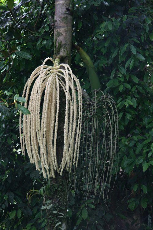 Costa Rica Tree