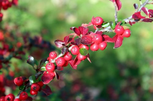cotoneaster bush red fruits