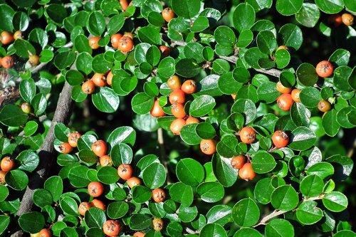 cotoneaster  bush  hedge