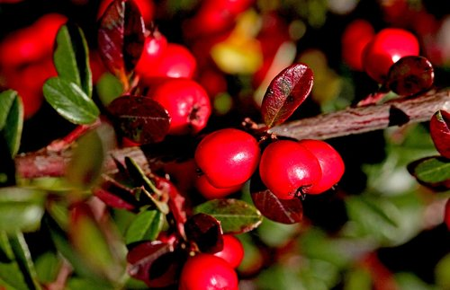 cotoneaster  cotoneaster crown  shrubs