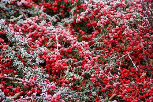 cotoneaster  bush  winter