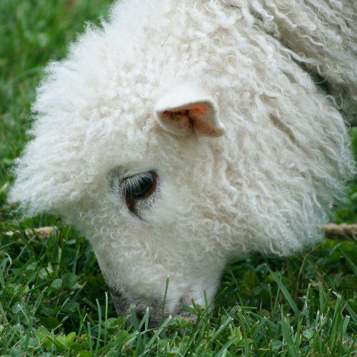 cotswold sheep lamb wool