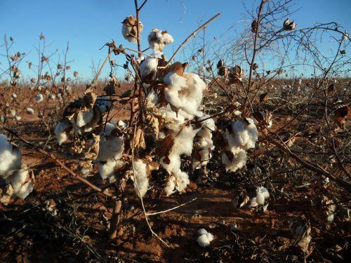 cotton pods nature