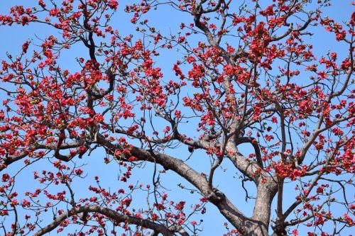 Cotton Silk Tree 1