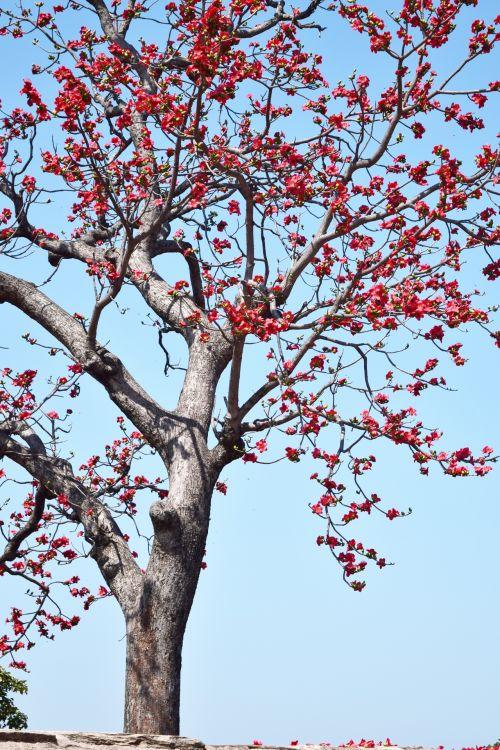 Cotton Silk Tree 2