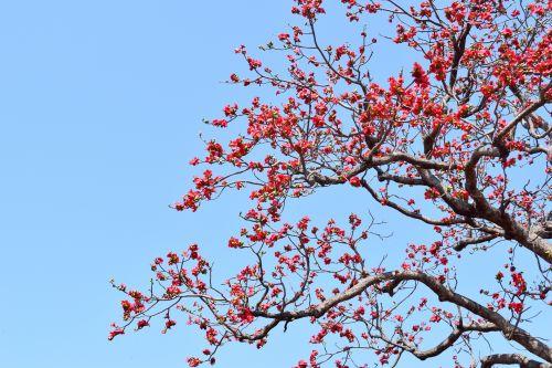 Cotton Silk Tree 3