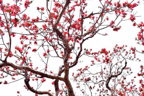 Cotton Silk Tree 4