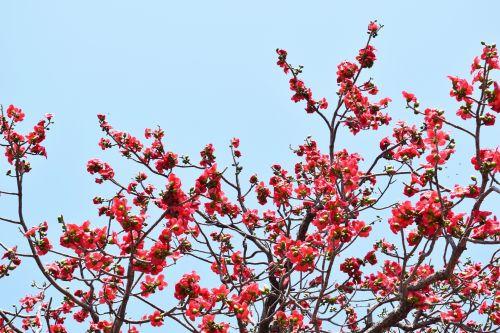 Cotton Silk Tree 5