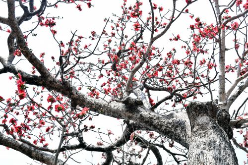 Cotton Silk Tree 6