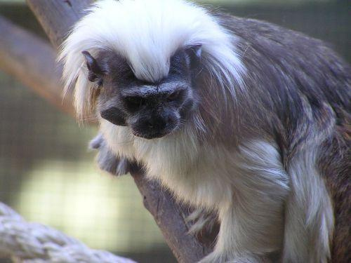 cotton top monkey cute