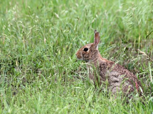 Cottontail Rabbit In Grass