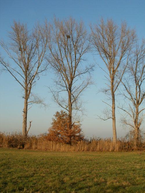 cottonwood poplar trees