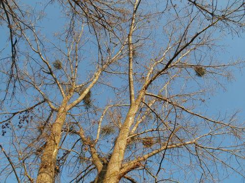 cottonwood silz populus