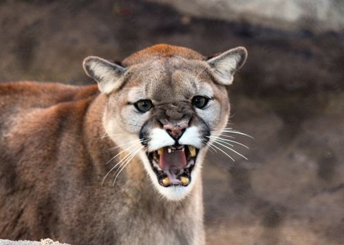 cougar cat wildlife