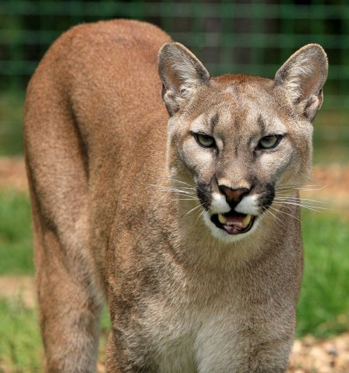 cougar mountain lion big cat