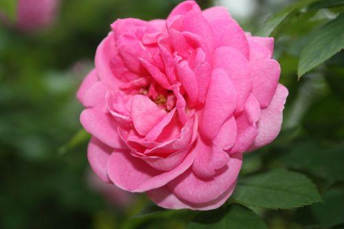 Šalis,rožė,Indija