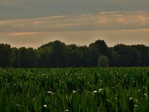 country,nature,tree,field,corn on the cob,danube,an island,slovakia