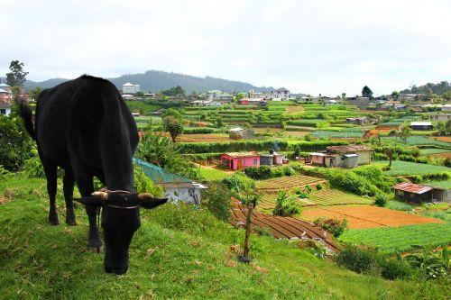 Šalis, darbas, laukas, Žemdirbystė, robotas, augti, auginimas, daržovės, lova, gyvenimas, karvė, asija, gyvenimas, gamta, ūkininkas, kraštovaizdis, kultivuoti, be honoraro mokesčio