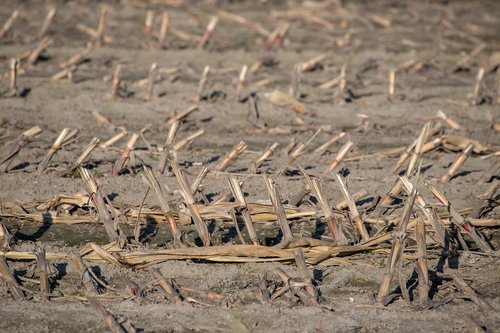 country  stubble  harvest