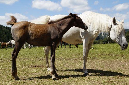 country stud stud mare herd