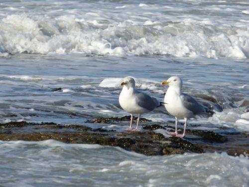 Couple Seagull At Seaside