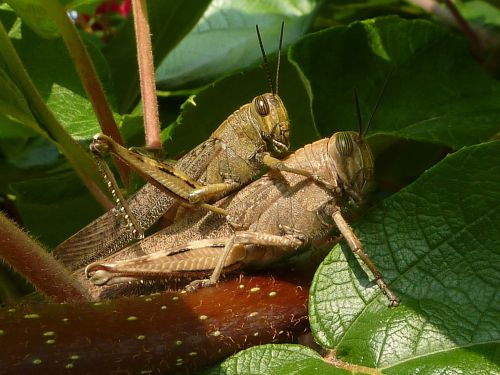 coupling grasshoppers insects