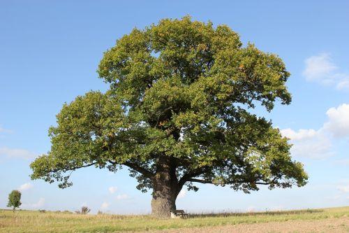 court oak oak tree