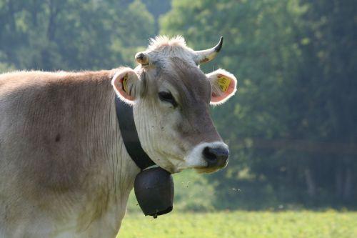 cow meadow animal