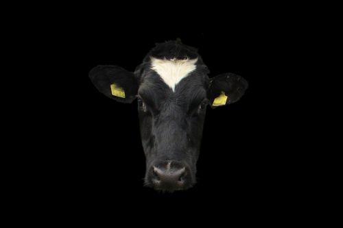 cow cow face cow portrait