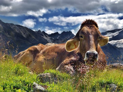 cow the alps mountains