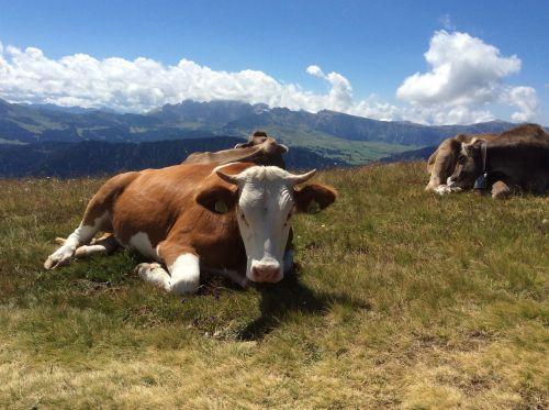 karvė,kalnai,kalnų kelias,karvė karvė,kalninė karvė,alm