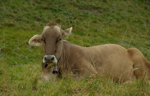 cow ruminant pasture
