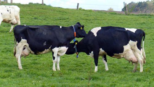 cow milk cow cattle