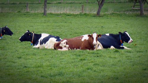 cow milk cow rest