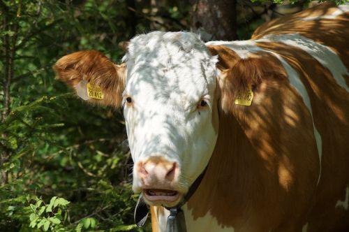 cow brown swiss beef