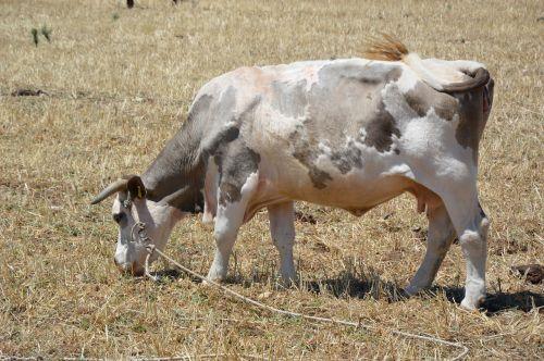 karvė,ganykla,jautiena,ganyti