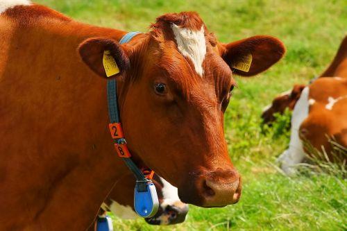 cow red orange pasture