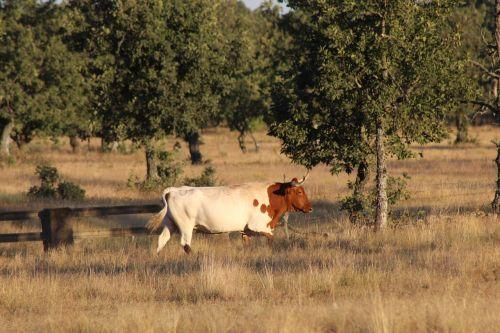 cow livestock animals