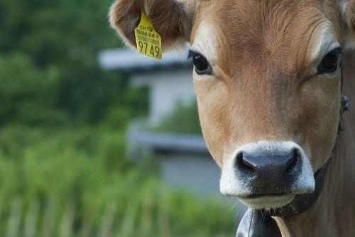 cow cattle animals