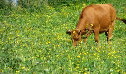 cow cattle tarine