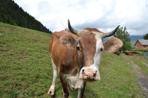cow mountains the carpathians